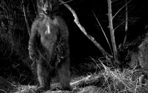 94798794_New_A_black_bear_is_shown_near_a_kill_made_by_a_mountain_lion_known_as_P-35_-large_trans++eo_i_u9APj8RuoebjoAHt0k9u7HhRJvuo-ZLenGRumA